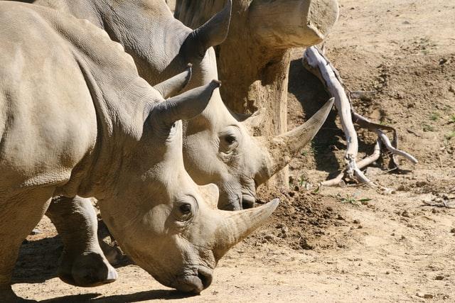 Rhino's at Hamilton Zoo